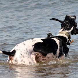 Sea at North Berwick by Mark Butterworth - Animals - Dogs Playing