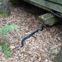 FL Banded Water Snake