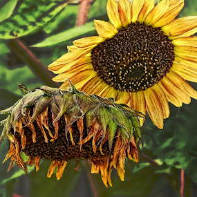 Sunflower by Patti Reddoch - Nature Up Close Flowers - 2011-2013