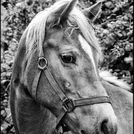Paardenkop by Etienne Chalmet - Animals Horses ( black and white, horse, portrait )