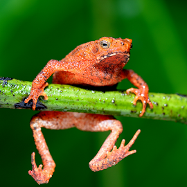 Red Frog by Colin Law - Animals Amphibians