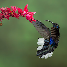 Incoming Violet Sabrewing by Simon Quek - Animals Birds ( cloud forest, violet, feeding, costa rica, sabrewing )