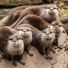 The Otter Family by Garry Chisholm - Animals Other Mammals ( garry chisholm, nature, otter, family, wildlife )
