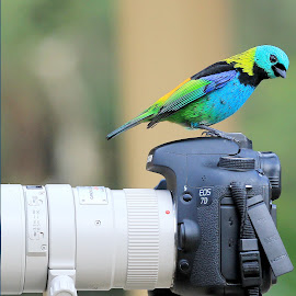Green-headed Tanage! by Itamar Campos - Animals Birds ( tanager, sa~ira sete cores, green-headed tanager, tangara, macho )