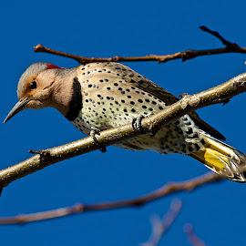 Northern Flicker by Dan Ferrin - Animals Birds ( bird, nature, northern flicker, wildlife, birds )