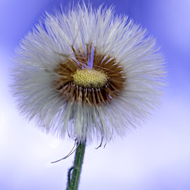 dandelion by Youssef Elboukhari - Nature Up Close Other plants ( canon, plant, up close, macro, nature, dandelion, blue, tamron )