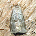 Dotted Graylet