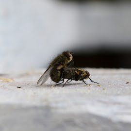 Dirty buggers by Nick Gray - Nature Up Close Hives & Nests ( flies sex mating nature )