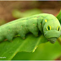 Vine Hawk-Moth Caterpillar