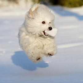 by Jeannette Thalmann-Bendeth - Animals - Dogs Running ( playing, flying, winter, snow, dog, coton de tulear, running )