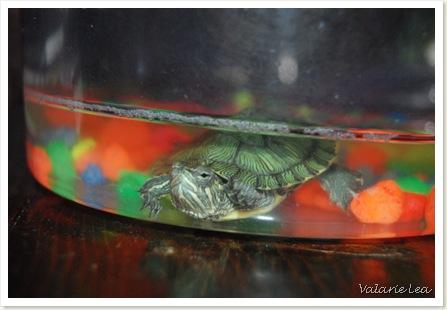 turtle015
