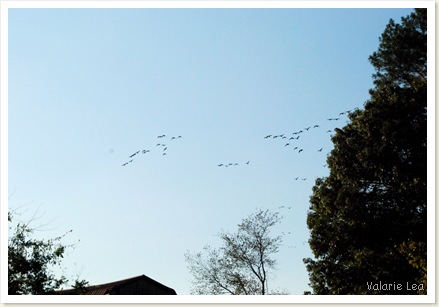 geese5
