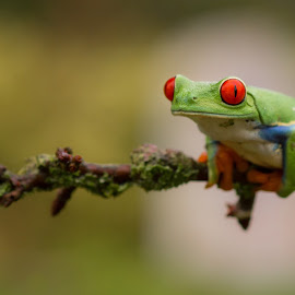 Red Eye Tree Frog by Kutub Macro-man - Animals Amphibians ( macro, natuire, close-up, animal )