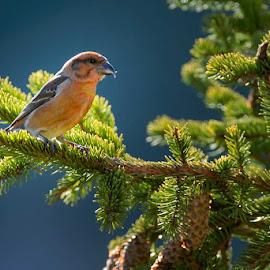 Roxia curvirosa by Ionel Onofras - Animals Birds ( nature, trees, wildlife, birds )