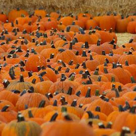 pumpkin field by Joann Jarrett Brasington - Artistic Objects Other Objects ( orange, pumpkin patch, autumn, pumpkin, fall,  )