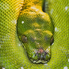 Green Snake by Kelly Murdoch - Animals Reptiles ( reptiles, snake, england, u, green, animal, ztam )
