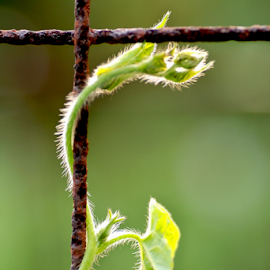 Climbing Vine by Jane Spencer - Nature Up Close Other plants ( fence, tendril, wire, vine, rusty, leaf, bud,  )