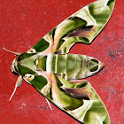 Oleander Hawk-moth/Army Green Moth