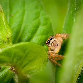 spidey by D'mUroz Irawan - Animals Insects & Spiders ( spider )