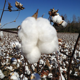 Cotton Farm by Tara Tarvin - Landscapes Prairies, Meadows & Fields ( farm, cotton, harvest, landscape, south carolina )