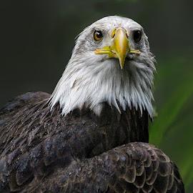 Eagle in the Rain by John Larson - Animals Birds