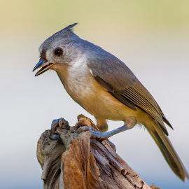 Titmouse by Thomas Murphy - Animals Birds