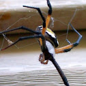 Writing spider or garden spider