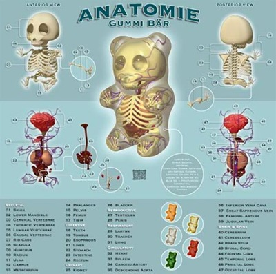 bear_anatomy
