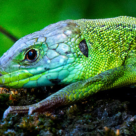 Ramarro by Roberto Gandolfi - Animals Reptiles ( ramarro insetto nature natura insect color green verde camaleonte )