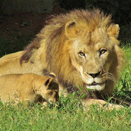 Lion with Cub by Christine Keaton - Animals Lions, Tigers & Big Cats (  )
