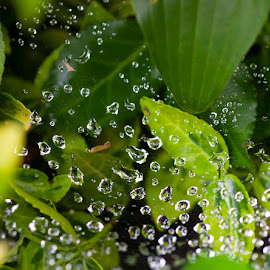 Waterdrop Web Over and Under Leaves by Bonnie Forman-Franco - Nature Up Close Other Natural Objects ( water drops, web, leaves, garden,  )
