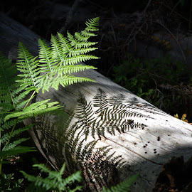 Fern Shadow by Jim Czech - Nature Up Close Other plants ( plant, shadow, plants, forest, log, woods, shadows,  )