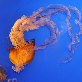 Giant Jellyfish by Betty Arnold - Animals Sea Creatures (  )