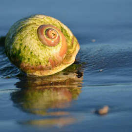 Moonsnail shell by Marcie Callewaert - Nature Up Close Other Natural Objects