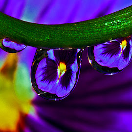 Drops with pansy by David Winchester - Nature Up Close Natural Waterdrops
