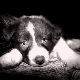 Pup by Kelly Murdoch - Animals - Dogs Puppies ( ztam photography, pup, puppy, isle of wight, dog, baby, young, animal )