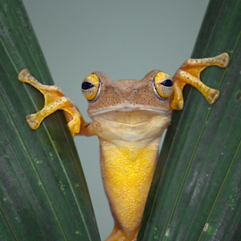 Haii by Kurito Afsheen - Animals Amphibians ( canon, macro, indonesia, tree frog, frogs, amphibians, animal )