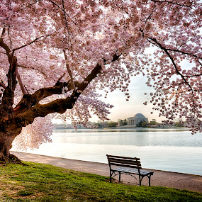 DC Cherry Blossoms by Kevin Miller - City,  Street & Park  Historic Districts ( water, dc, cherry, washington, memorial, jefferson, festival, usa, blossom )