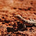 Madagascan collared iguana