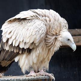 Himalaya Vulture by Petra May - Animals Birds ( vulture, animals, himalaya, birds )