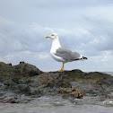 Yellow-legged gull. Gaviota patiamarilla