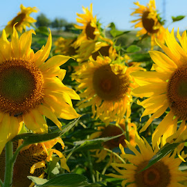 by Tatiana Alexandru - Novices Only Flowers & Plants ( sun flower, summer, yellow, flowers, sun )