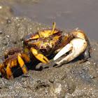 West African Fiddler Crab