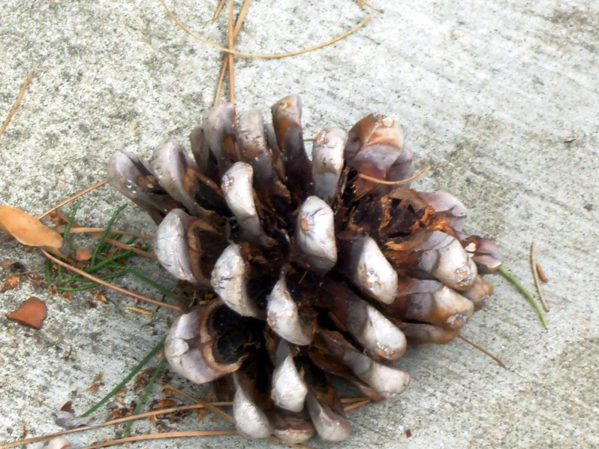 lodge pole pine cone