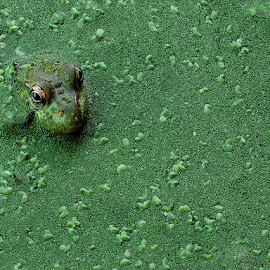 Frog In Duckweed by Mike Moats - Animals Amphibians