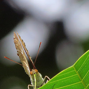 The Butterfly by Protim Banerjee - Animals Insects & Spiders ( butterfly, nature, green, beauty )