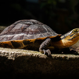 turtle by R Dody Shahputra - Animals Reptiles ( animals, reptile, turtle )