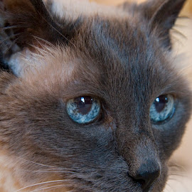 Cleo looking for treats. by Gale Perry - Animals - Cats Portraits ( balinese, cat, blue eyes,  )