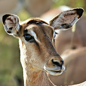 Listen by Pieter J de Villiers - Animals Other Mammals ( mammals, animals, other, kruger national park, impala, alert, ewe, south-africa, portrait,  )