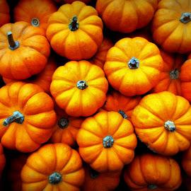 Mini Pumpkins by Tricia Scott - Food & Drink Ingredients ( orange, pumpkin, food, thanksgiving, stems, veggie, vegatable, miniature, halloween )